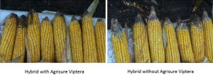 Image courtesy of Syngenta