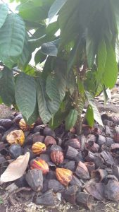 A sample of a cacao tree with pods that have been cut open. (Image by Michelle Miller)