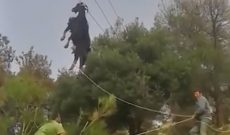 Goat dangles by its horns from power line