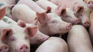 african swine fever virus vaccine