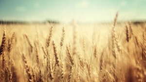 genetically engineered wheat