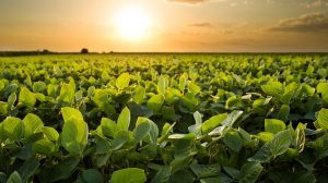 heat-tolerant soybeans