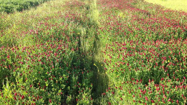dixie cover crop