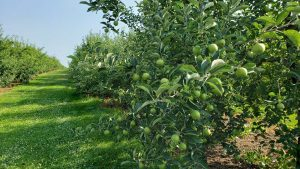 mcclure's orchard
