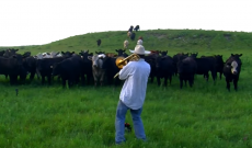 Cows are drawn to Derek's 'Old Town Road' on the trombone