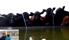 Farmer Derek gives his cows a high-tech silly squirt