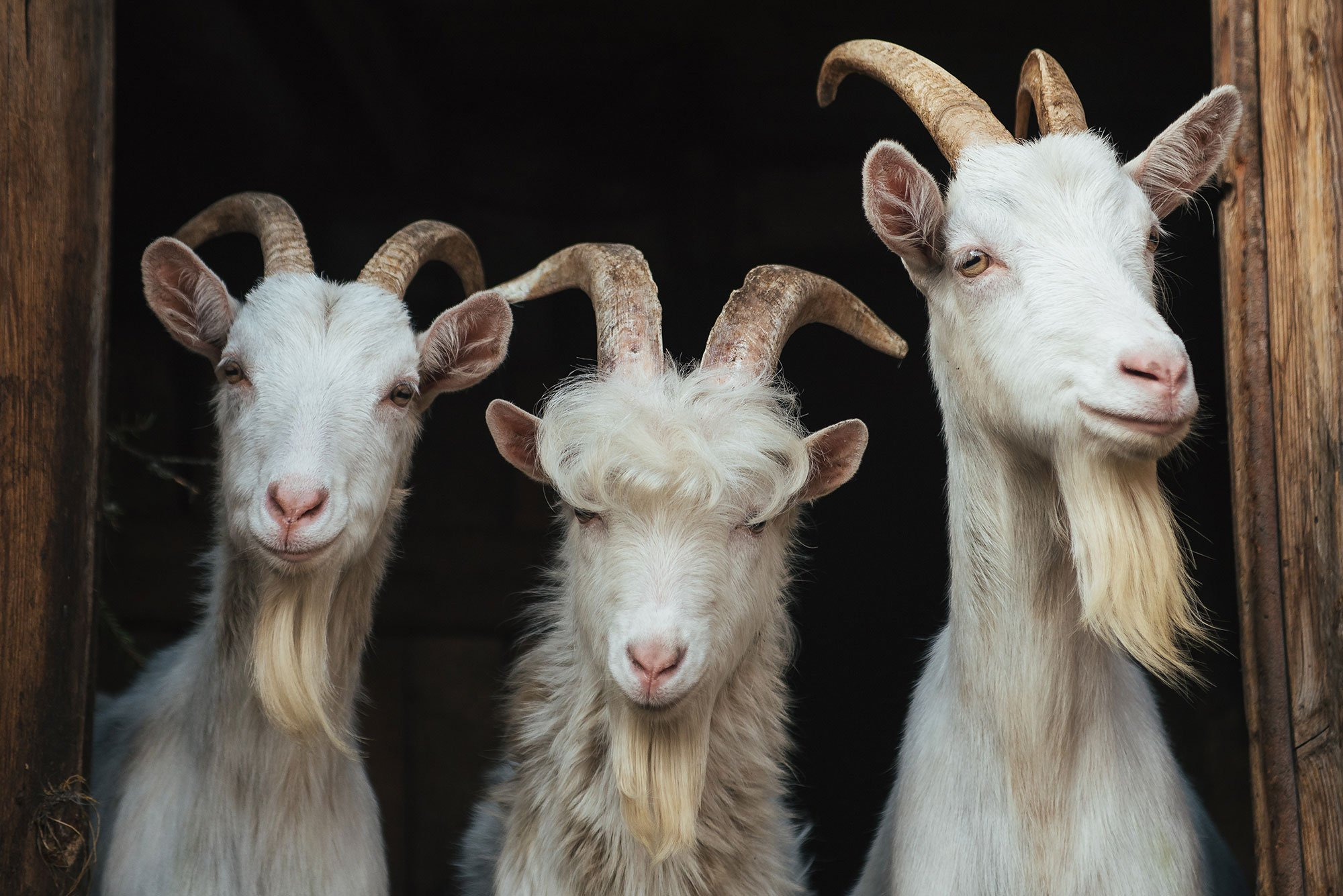 Basics of goat horns and how to handle them | AGDAILY