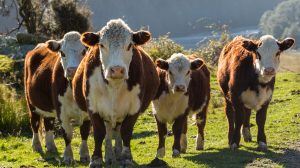 hereford cattle facts