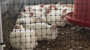 chicken litter