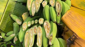 bananas pathogens
