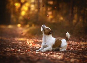 jack russell terrier farm dog breed