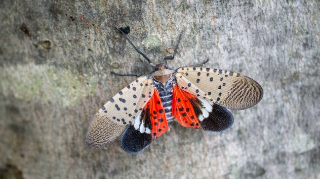 spotted_lanternfly