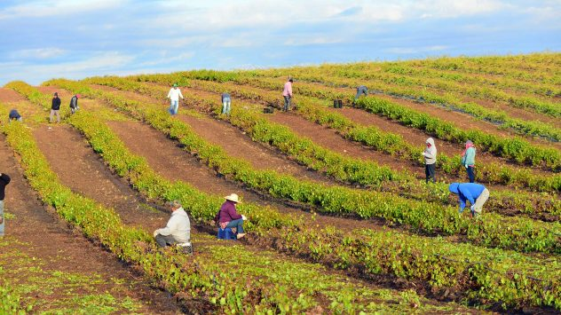 vineyard farm workers