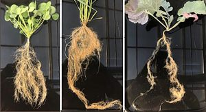root_trait_differences_cover_crops
