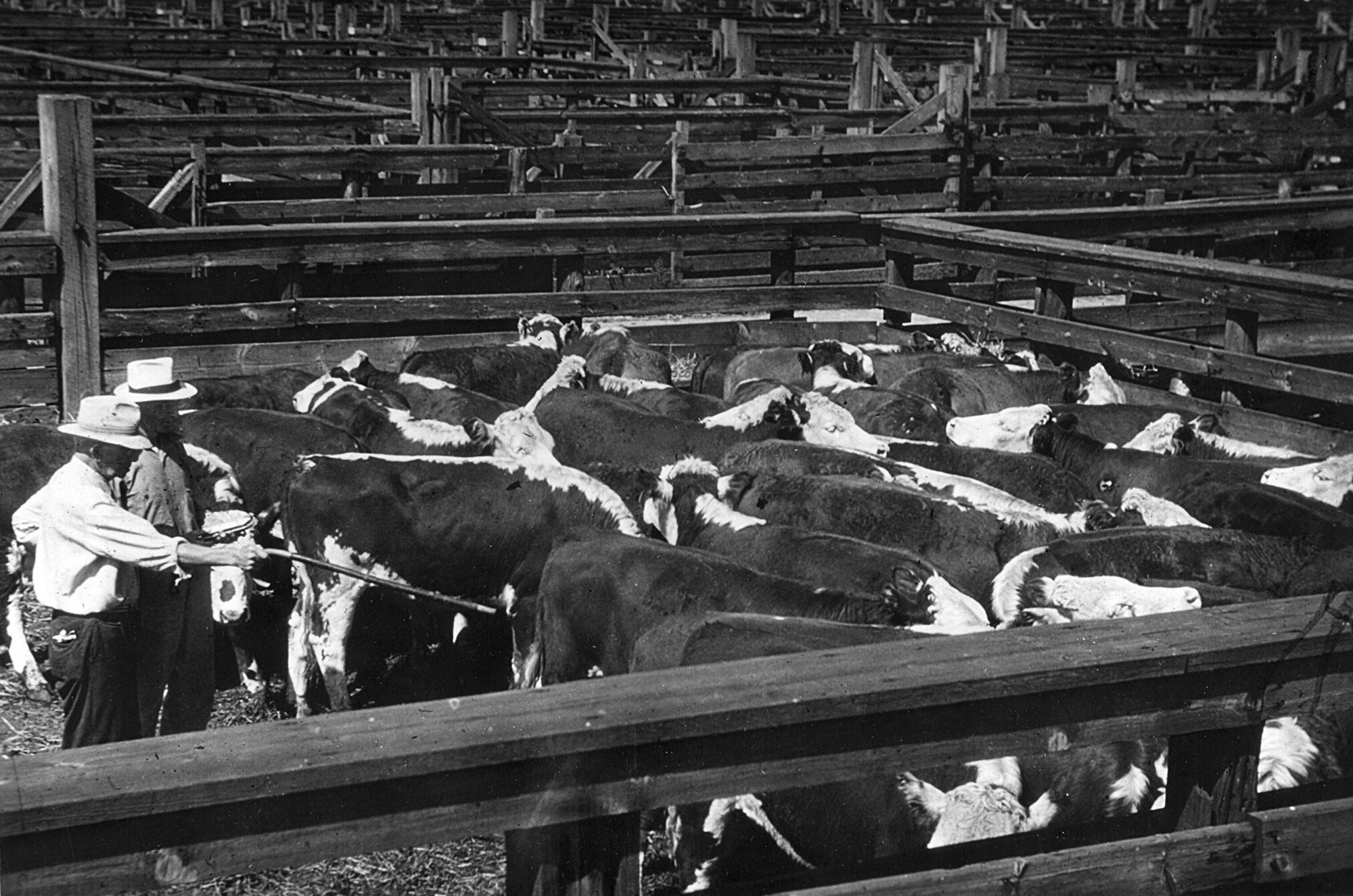 beef-cattle-history