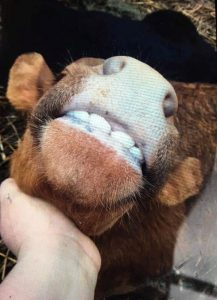 cattle-derp-reed