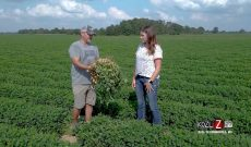 Peanut grower explains growing and harvesting process
