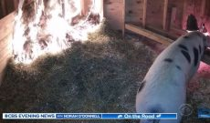 Woman watching barn livestream saves pig from fire