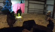 Farmer Derek re-creates Nativity — with cows, of course