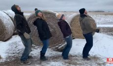 Peterson Farm Bros & their cows dance in the Git Up Challenge