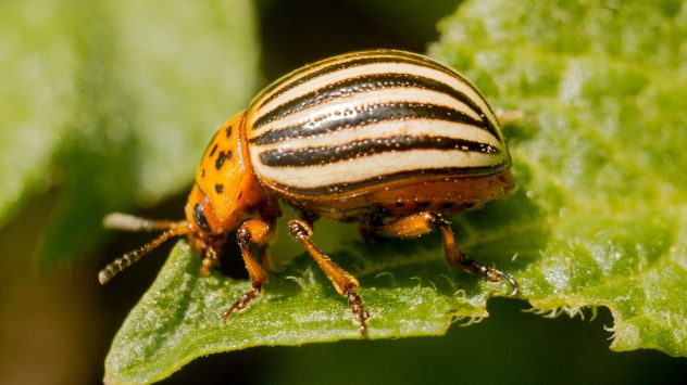 colorado-potato-beetle