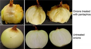 onion center rot