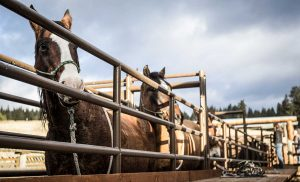 USFS_08_Horses-and-mules-waiting-in-line-Suzanne-Downing