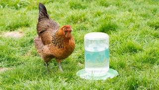 best-chicken-waterer