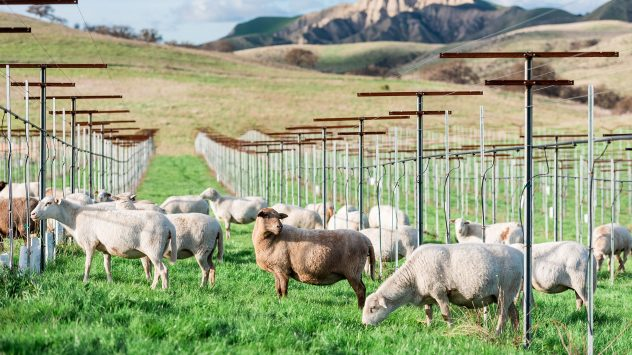 regenerative-Sheep-in-Vineyard